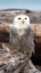 Beautiful Snowy Owl Galaxy S5 Wallpaper