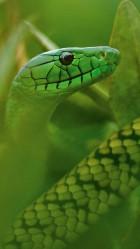 Green snake Galaxy S5 Wallpaper
