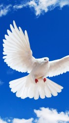 White dove Galaxy S5 Wallpapers