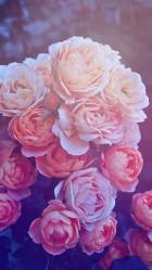Beautiful Pink Roses HD Wallpaper iPhone 6 plus