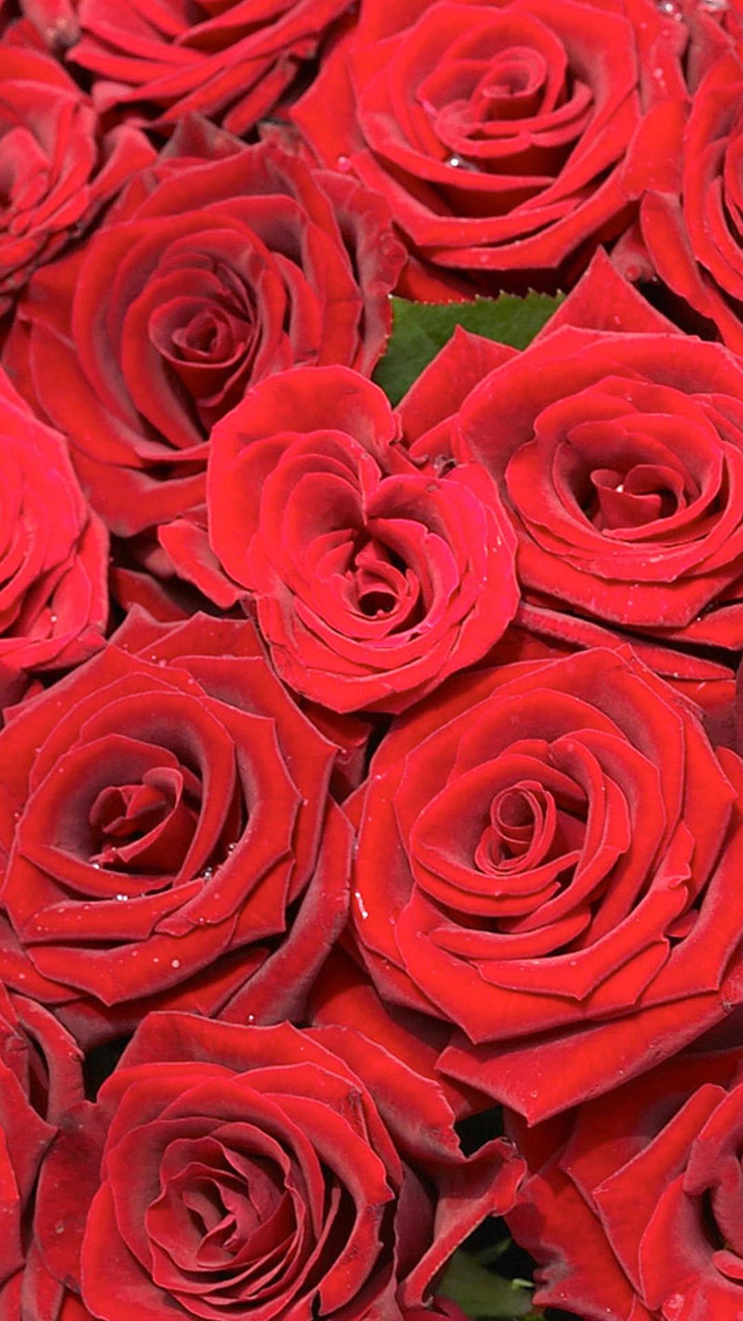 beautiful red rose hd wallpaper iphone 6 plus