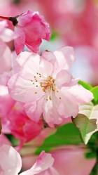 Begonia flowers HD Wallpaper iPhone 6 plus