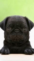 Funny Black Pug HD Wallpaper iPhone 6 plus