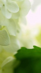 White Hydrangea Flower HD Wallpaper iPhone 6 plus