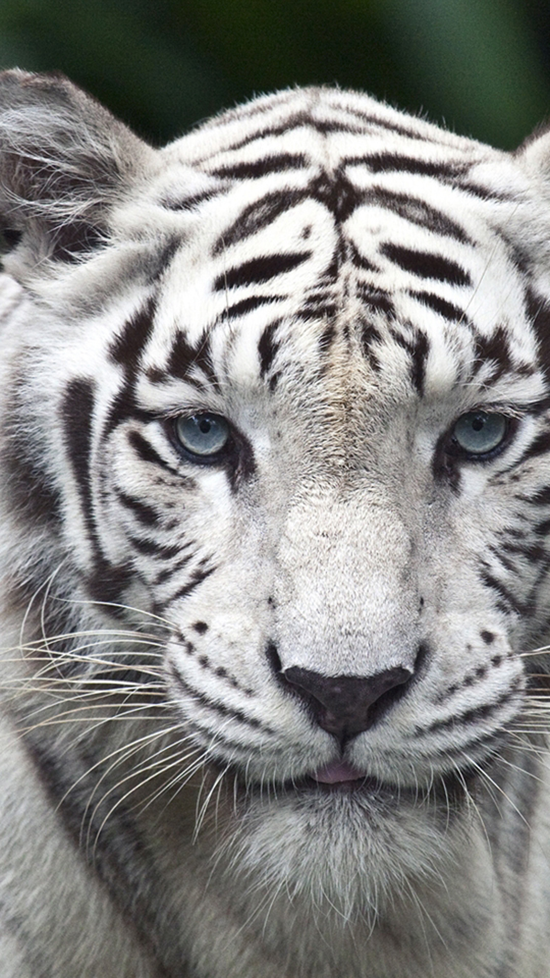 wallpaper hd white tiger - photo #31