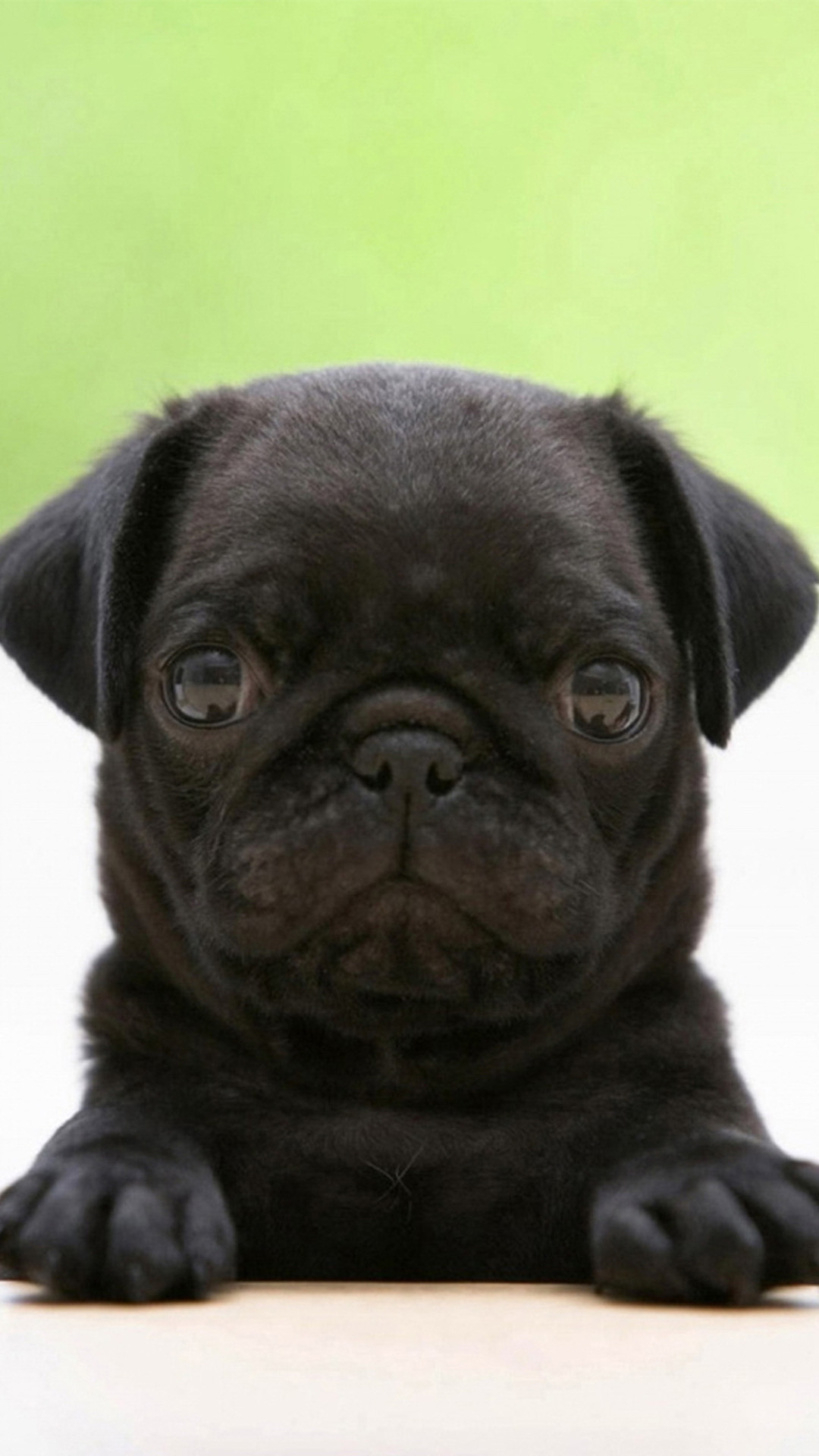 funny black pug hd wallpaper iphone 6 plus